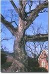 A_oak_tree